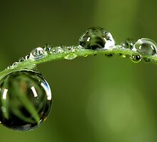 Morning Dew Drops by Sharon Johnstone