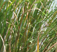 Dragonfly on  dune grass by mrsbbrewer