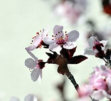 Cherry Blossoms by Hotshoe62