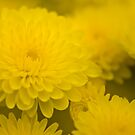 Soft Yellow Mums by onyonet photo studios
