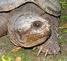 Snapping Turtle by sillyfrog