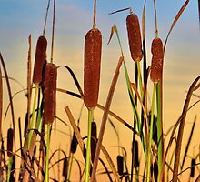 Cat Tails by Thomas Eggert