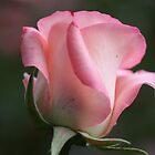 Pink Bud~belami~ by aussiedi