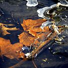 Maple Leaves in Ice by Amanda Spencer