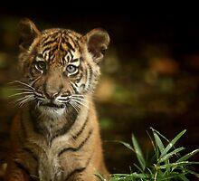 Baby Tiger Portrait III by Daniela Pintimalli