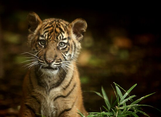 Baby Tiger Portrait III by Daniela Pintimalli