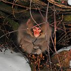 Baby Snow Monkey at Jigokudani Hot Springs by S T