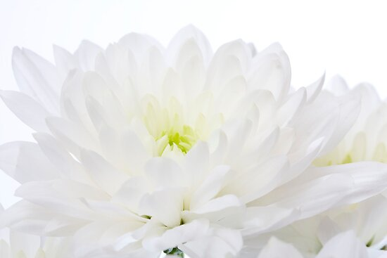 White Chrysanthemum by Michael Hadfield