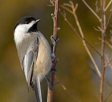 Garden Chickadee by Heather Pickard