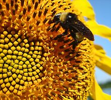 Bumble Bee on a Sunflower by barnsis