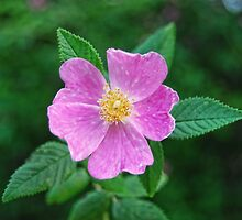 Wild Rose by barnsis