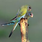 Scoloding - Female Hooded Parrot and young - Pine Creek by Alwyn Simple