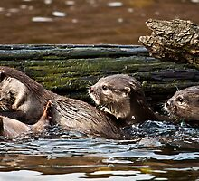Otter family at play time by Shaun Whiteman