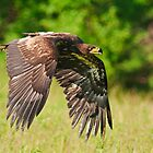 Juvenile Bald Eagle by Cycroft