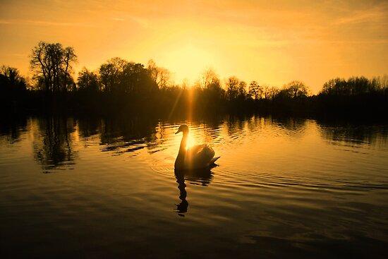 Lake of golden light - swan silhouette by Penny V-P