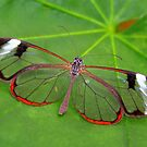 Wings of Glass - Glasswing - Greta oto by Lepidoptera