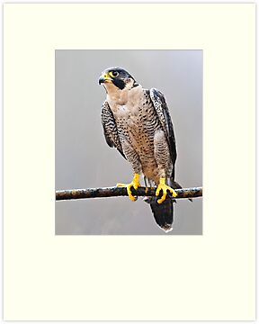 Peregrine Falcon by Cycroft
