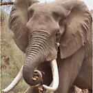 """THE AFRICAN ELEPHANT - TUSKERS-""""THE KRUGER NAT, PARK"""" by Magaret Meintjes"""