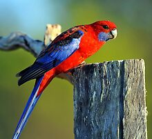 Crimson Rosella in our back yard. Brisbane, Queensland, Australia. by Ralph de Zilva