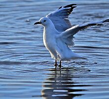 Australian Gull shot in late light with Sigma 150-500mm by ronaldbegg