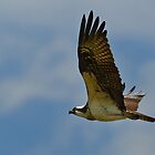 Osprey in flight by Cycroft