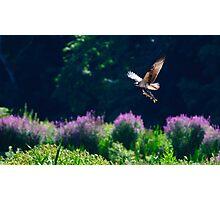 Osprey fishing Photographic Print