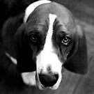 basset hound - 35mm print by iannarinoimages