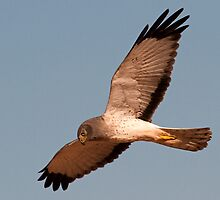 Santa Cruz Northern Harrier by Marvin Collins