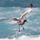 Swallow-tailed gull by Ken Griffiths
