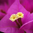 Bougainvillea by crystalseye