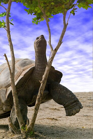 """Reaching For The Green"" - giant tortoise has determination by John Hartung"