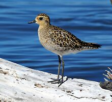 Pacific Golden Plover - Stockton Channel - Newcastle by Alwyn Simple