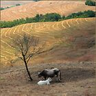 cows in a landscape by CatharineAmato