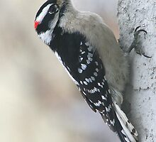Downy Woodpecker by Laurel Talabere