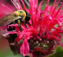 Bee on Bee Balm by crystalseye