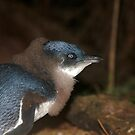 Cute Baby Fairy Penguin by Patrick Reid