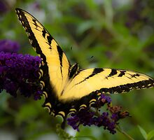 Eastern Tiger Swallowtail by Chevymom