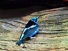 Red Legged Honeycreeper  by Marcia Rubin