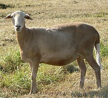 Dharma Ewe by louisegreen