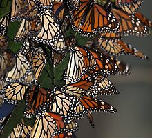 Migrating Butterflies by CarolM