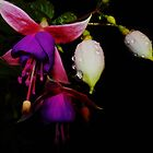 Fuchsias in the Night. by Meg Hart