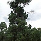 Dragon Tree Untouched by Carol Field
