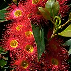 Blossom, Australian, Eucalyptus, ficifolia. by johnrf