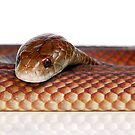 Mulga or King Brown Snake (Pseudechis australis) by Shannon Benson