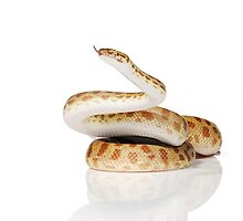 Reduced Pattern Gold Stimson Python (Antaresia stimsoni) by Shannon Benson