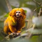 Golden Lion Tamarin by Yannik Hay