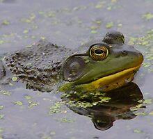 American Bullfrog by naturalnomad
