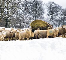 Sheep in the snow by Rick  Senley