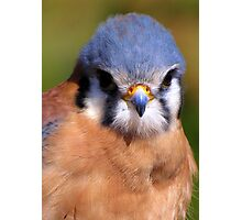 American Kestrel ~ Portrait  Photographic Print
