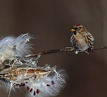 Common Redpoll on Milkweed by Bill McMullen